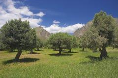 Olijfbomen in Kreta, Griekenland royalty-vrije stock foto