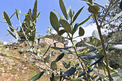 Olijfbomen in Mani, Griekenland stock foto's