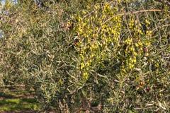 Olijfbomen met rijpende olijven in oogsttijd Royalty-vrije Stock Foto's