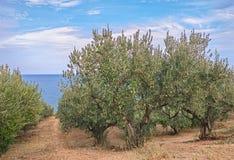 Olijfbomen op de kust van overzees in Italië Royalty-vrije Stock Afbeeldingen