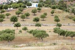 Olijfbomen op een Grieks eiland Royalty-vrije Stock Afbeeldingen