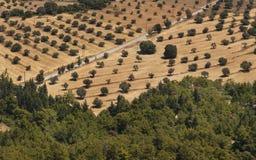 Olijfbomen op een rij aanplanting Royalty-vrije Stock Foto's