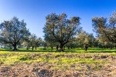 Olijfbomen op groen en geel onkruid Royalty-vrije Stock Afbeelding