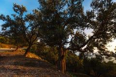 Olijfbomen, overzees en zonsondergang Kalamata, Griekenland Stock Fotografie