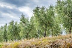 Olijfbomen Toscanië Royalty-vrije Stock Afbeelding