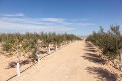 Olijfbomenaanplanting Stock Afbeelding