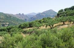 Olijfbomenaanplanting op Kreta, Griekenland Royalty-vrije Stock Fotografie