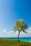 Olijfboom bij de Griekse kust Stock Afbeeldingen