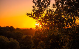Olijfboom bij zonsondergang Royalty-vrije Stock Afbeelding