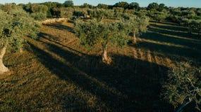 Olijfboom in de gebiedszomer in Hommel 360 VR van sunnyApullaitalië Royalty-vrije Stock Fotografie