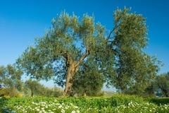 Olijfboom in de lente Stock Fotografie