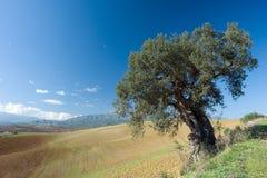 Olijfboom in een landelijk landschap Stock Fotografie