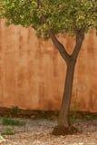 Olijfboom en oranje muur Royalty-vrije Stock Foto's