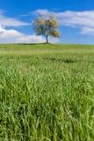 Olijfboom in het gebied van Toscanië stock foto