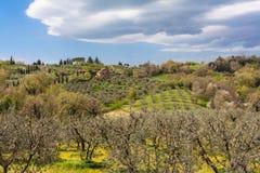 Olijfboom in het gebied van Toscanië in Montepulciano royalty-vrije stock foto