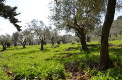 Olijfboom in het noorden van Israël Stock Foto
