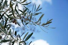 Olijfboom leafes op hemelachtergrond stock fotografie