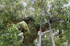 Olijfboom met ladder stock afbeelding