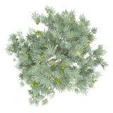 Olijfboom met olijven op wit worden geïsoleerd dat Hoogste mening royalty-vrije illustratie