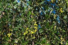 Olijfboom met rijpe olijven Royalty-vrije Stock Afbeelding