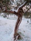 Olijfboom met sneeuw in centraal Itali royalty-vrije stock foto's