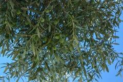 Olijfboom op de blauwe hemel als achtergrond Stock Afbeeldingen