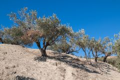 Olijfboom op een heuvel en een blauwe hemel stock afbeelding