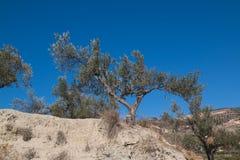 Olijfboom op een heuvel en een blauwe hemel royalty-vrije stock afbeelding