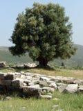 Olijfboom op een oude archeologische plaats in Griekenland Royalty-vrije Stock Afbeeldingen