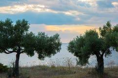 Olijfboom op het strand met zonnige hemel Stock Fotografie