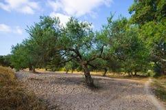 Olijfboom op Kreta, Griekenland stock afbeelding