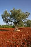 Olijfboom op rode grond Royalty-vrije Stock Afbeelding