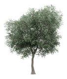 Olijfboom op wit wordt geïsoleerd dat vector illustratie
