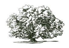 Olijfboom oude gravure Ecologie, milieu, aardschets Uitstekende vectorillustratie Stock Foto