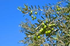 Olijfboom, tak met groene bladeren en olijven op een achtergrond van blauwe hemel Royalty-vrije Stock Foto