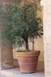 Olijfboom in terracottapot royalty-vrije stock fotografie