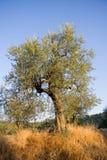 Olijfboom in Toscanië stock afbeelding