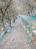 Olijfboom van Toscanië stock afbeeldingen