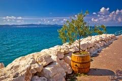 Olijfboom in vat door het overzees Stock Foto