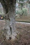 Olijfboomboomstam in een park van Porto royalty-vrije stock foto