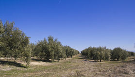 Olijfboomgaarden Royalty-vrije Stock Afbeeldingen