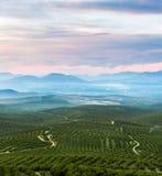 Olijfboomland Stock Afbeelding