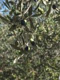 Olijfboomtak met bladeren en olijven Stock Fotografie