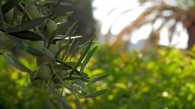 Olijfboomtak tegen groene tuin stock footage