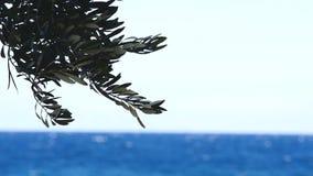 Olijfboomtakken door het overzees op de achtergrond stock footage