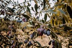 Olijfboomtakken met olijven en bladeren royalty-vrije stock afbeelding