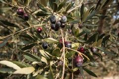 Olijfboomtakken met olijven en bladeren stock fotografie