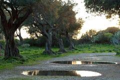 Olijfgaard in de lente Stock Afbeeldingen