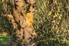 Olijfgaard met rijpe en onrijpe olijven op olijfboom Stock Afbeelding