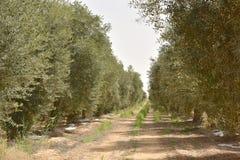 Olijfgaard in negev, Israël Stock Afbeeldingen